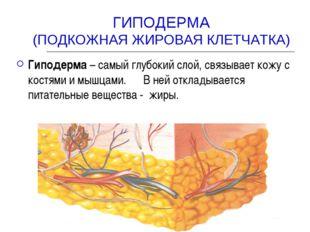 ГИПОДЕРМА (ПОДКОЖНАЯ ЖИРОВАЯ КЛЕТЧАТКА) Гиподерма – самый глубокий слой, связ