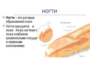 НОГТИ Ногти – это роговые образования кожи. Ногти находятся в ложе . Кожа ног