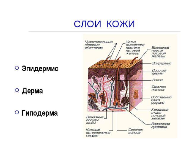 СЛОИ КОЖИ Эпидермис Дерма Гиподерма
