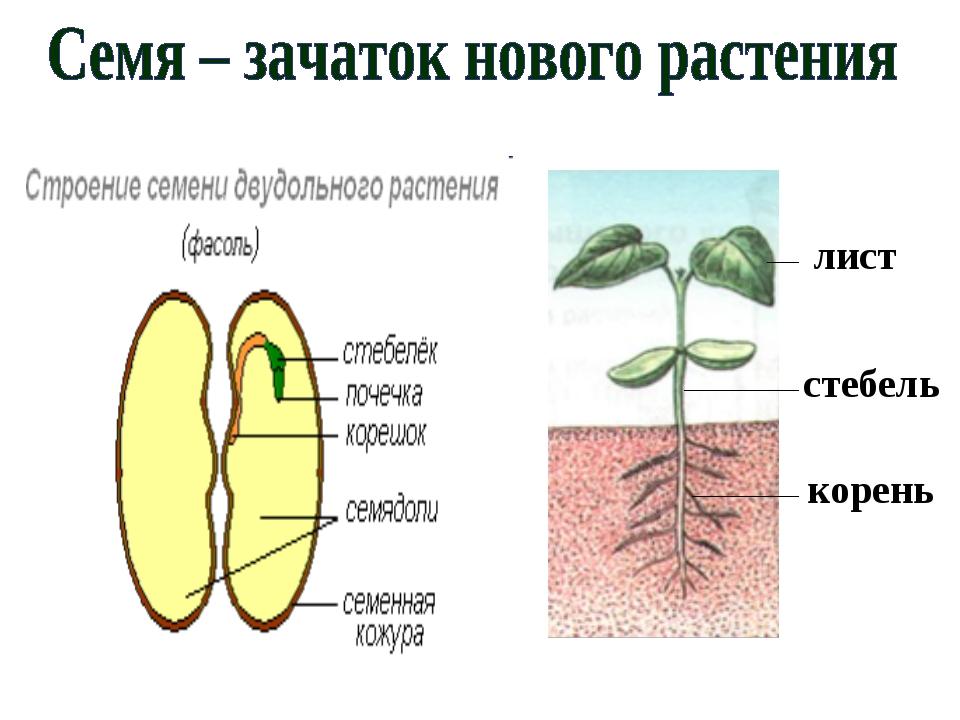 Семени фасоли внутри семени под семенной кожурой находится зародыш нового растения зародыш фасоли содержит запас