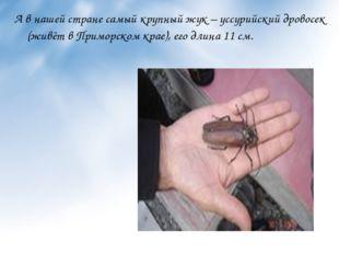 А в нашей стране самый крупный жук – уссурийский дровосек (живёт в Приморском