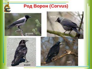 Род Ворон (Corvus) ворона ворон галка грач