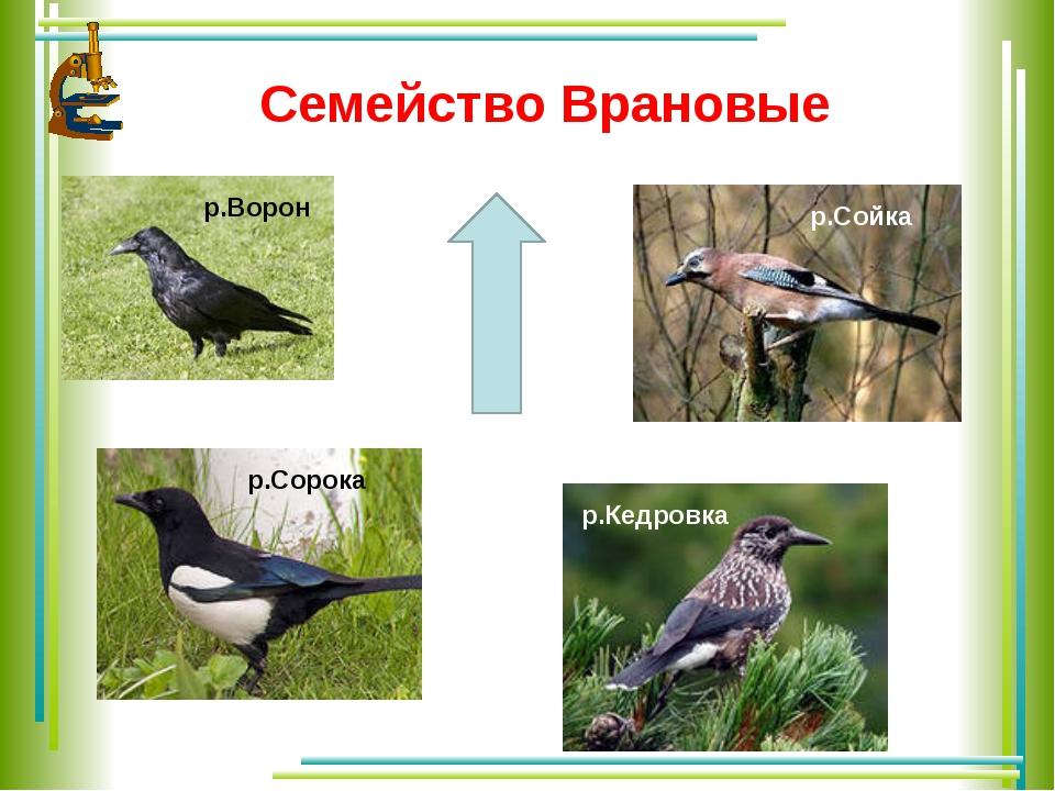 Семейство Врановые р.Ворон р.Сорока р.Сойка р.Кедровка