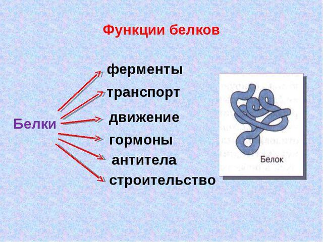 Функции белков Белки ферменты транспорт движение гормоны антитела строительство