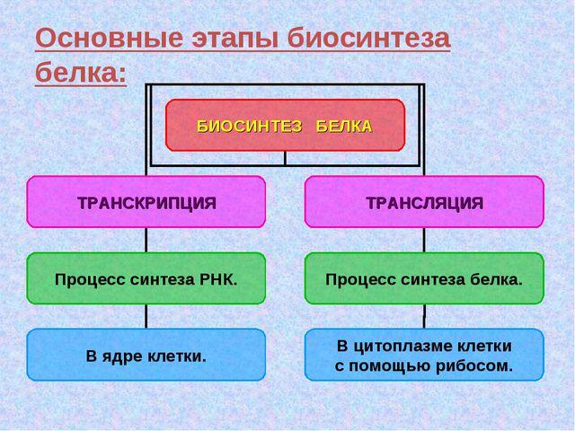 Основные этапы биосинтеза белка: