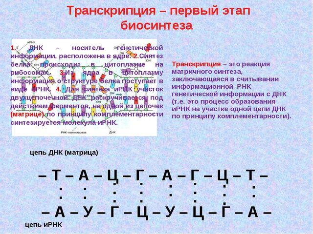 Транскрипция – первый этап биосинтеза – Т – А – Ц – Г – А – Г – Ц – Т – – А...