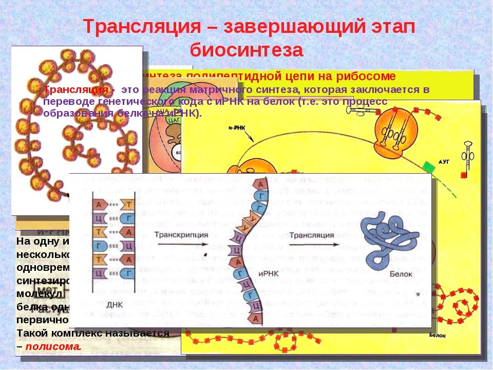 Трансляция – завершающий этап биосинтеза Схема тРНК: А, Б, В, Г – участки ко...