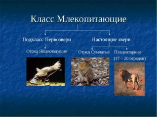 Класс Млекопитающие Подкласс Первозвери Настоящие звери Отряд Яйцекладущие От