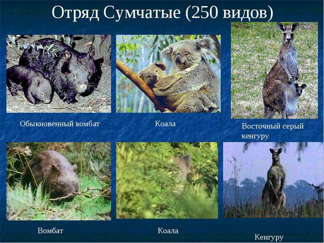 Отряд Сумчатые (250 видов) Обыкновенный вомбат Коала Восточный серый кенгуру...