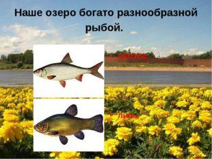 Наше озеро богато разнообразной рыбой. плотва линь
