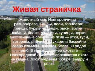 Живая страничка Животный мир Новгородчины разнообразен: лисы, лоси, горностаи