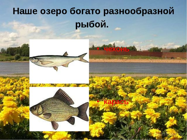 Наше озеро богато разнообразной рыбой. чехонь карась