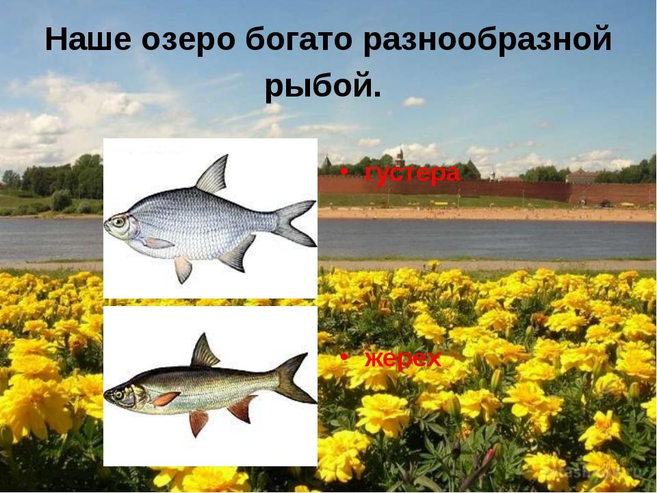 Наше озеро богато разнообразной рыбой. густера жерех