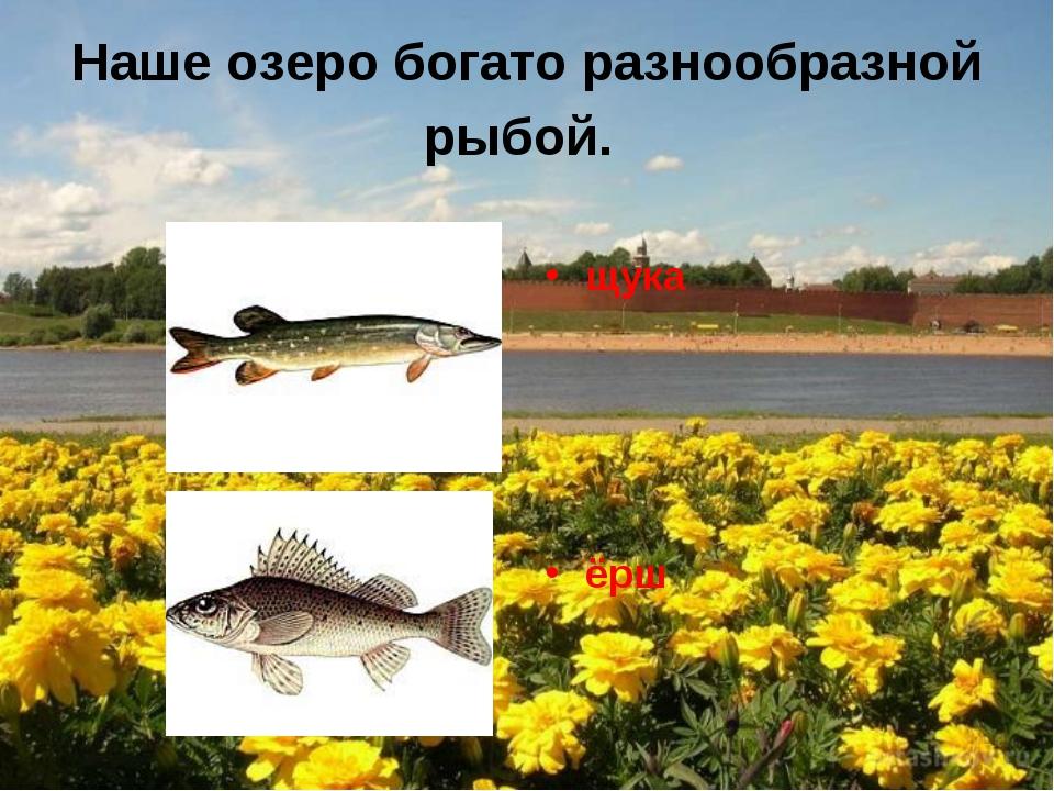 Наше озеро богато разнообразной рыбой. щука ёрш