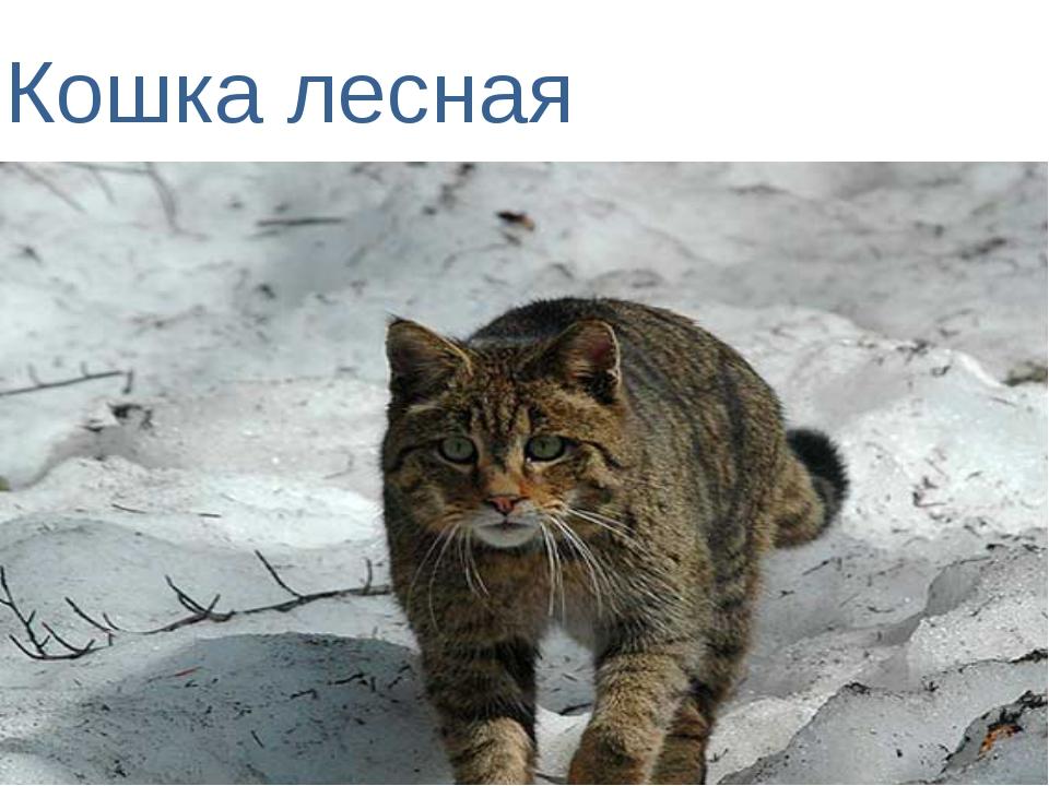 Кошка лесная