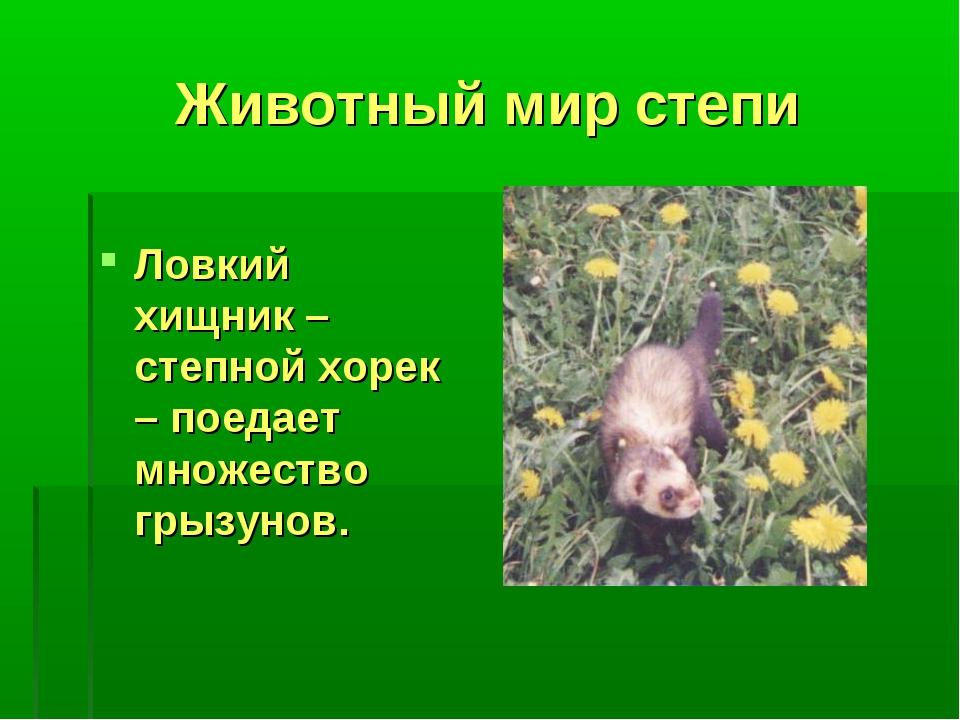 Животный мир степи Ловкий хищник – степной хорек – поедает множество грызунов.