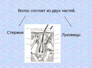 Волос состоит из двух частей. Стержня Луковицы