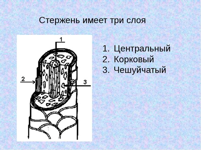 Стержень имеет три слоя Центральный Корковый Чешуйчатый