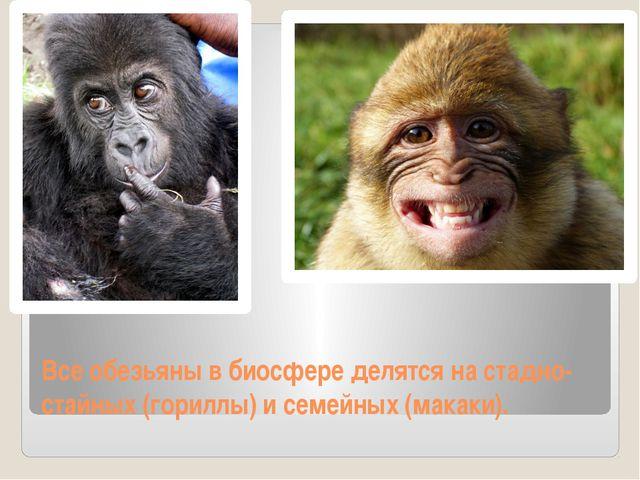 Все обезьяны в биосфере делятся на стадно-стайных (гориллы) и семейных (макак...