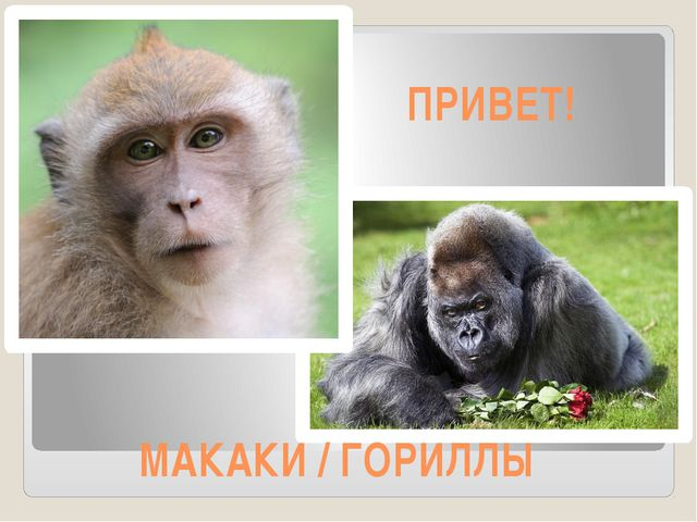 МАКАКИ / ГОРИЛЛЫ ПРИВЕТ!