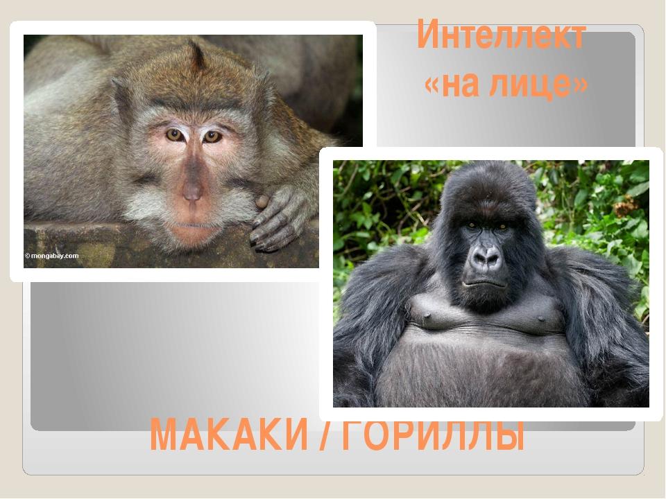 МАКАКИ / ГОРИЛЛЫ Интеллект «на лице»