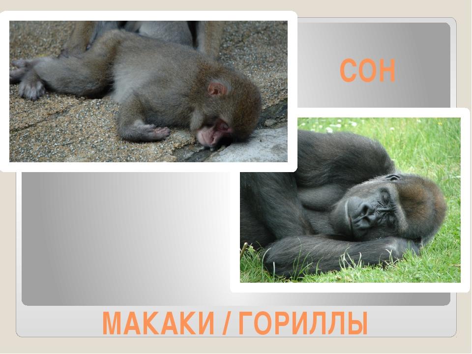 МАКАКИ / ГОРИЛЛЫ СОН