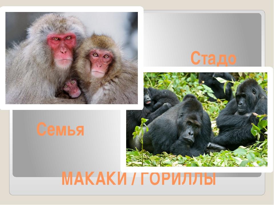 МАКАКИ / ГОРИЛЛЫ Стадо Семья