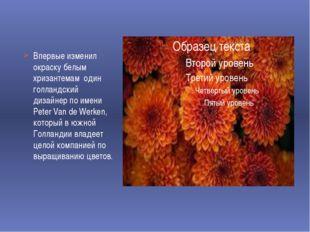 Впервые изменил окраску белым хризантемам один голландский дизайнер по имени