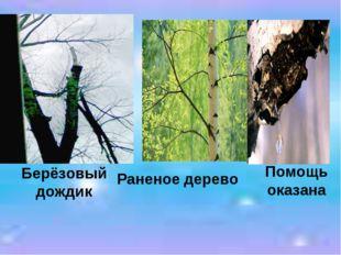Берёзовый дождик Раненое дерево Помощь оказана