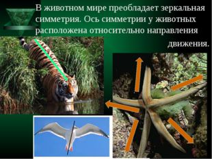 В животном мире преобладает зеркальная симметрия. Ось симметрии у животных ра