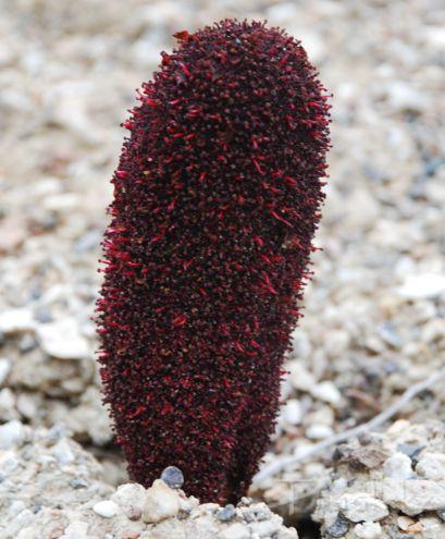 Cynomorium songaricum Rupr. - Циноморий джунгарский