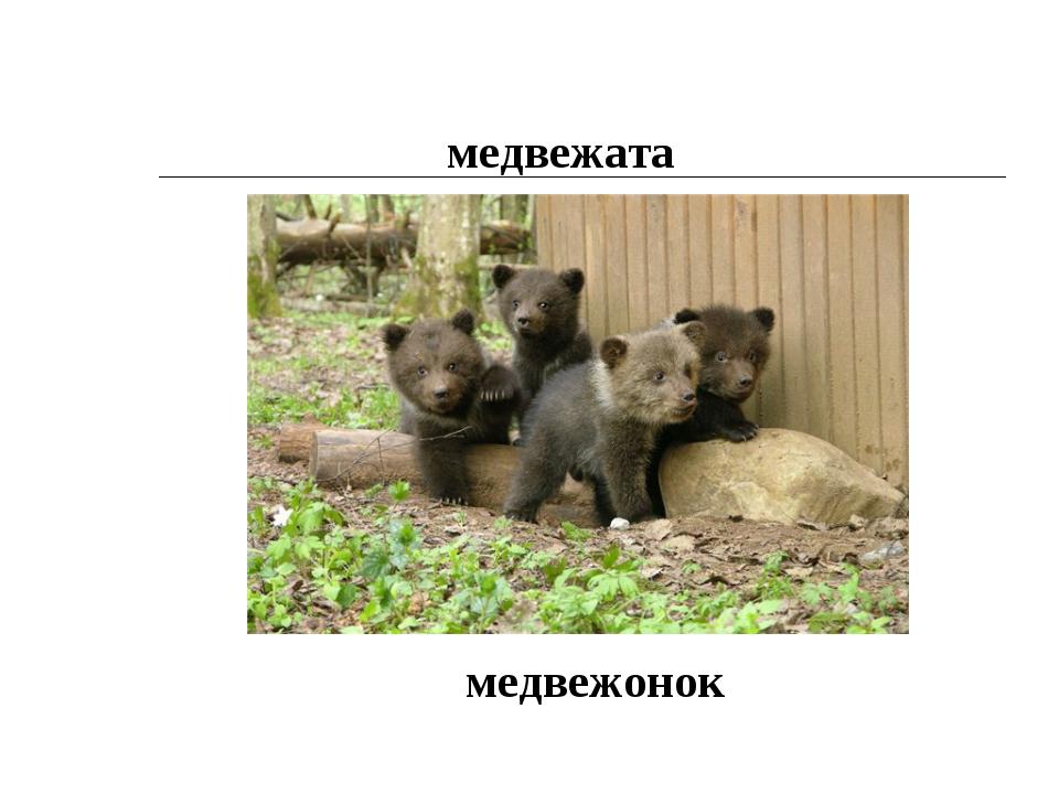 медвежата медвежонок