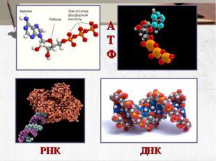 АТФ ДНК РНК