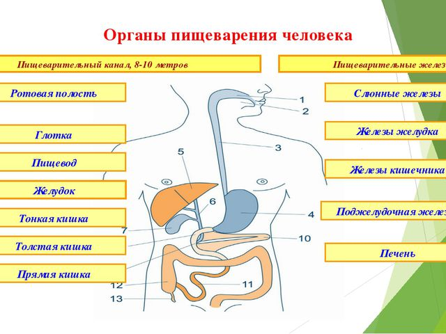 Органы пищеварения человека Пищеварительный канал, 8-10 метров Пищеварительны...
