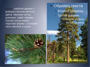Сосна- хвойное дерево с ровным стволом жёлтого цвета. Хвоинки сосны длинные,