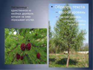 Лиственница- единственное из хвойных деревьев, которое на зиму сбрасывает иг