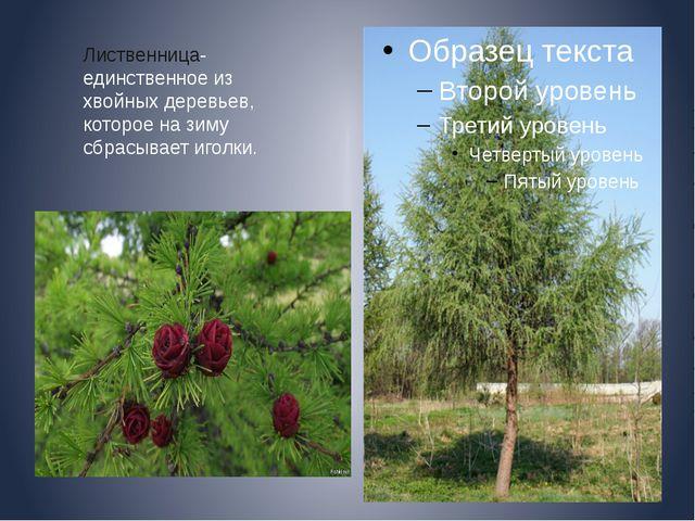 Лиственница- единственное из хвойных деревьев, которое на зиму сбрасывает иг...