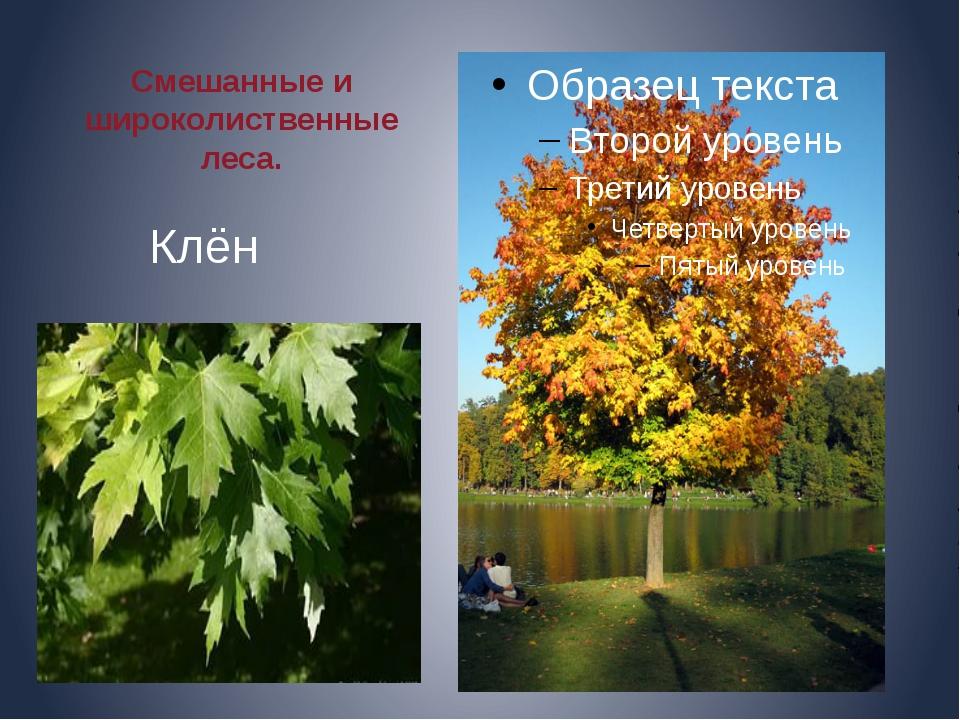 Смешанные и широколиственные леса. Клён