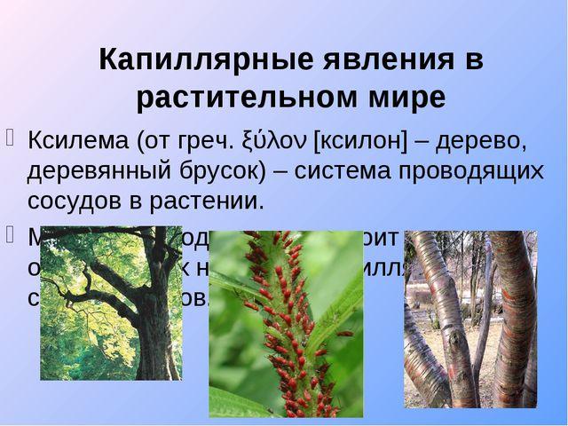 Капиллярные явления в растительном мире Ксилема (от греч. ξύλον [ксилон] – де...