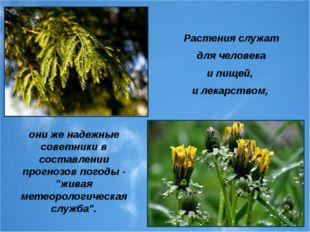 Растения служат для человека и пищей, и лекарством, они же надежные советники