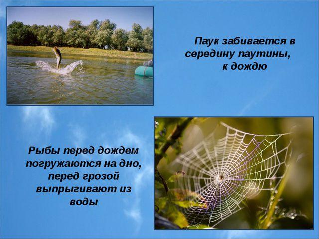Рыбы перед дождем погружаются на дно, перед грозой выпрыгивают из воды Паук з...