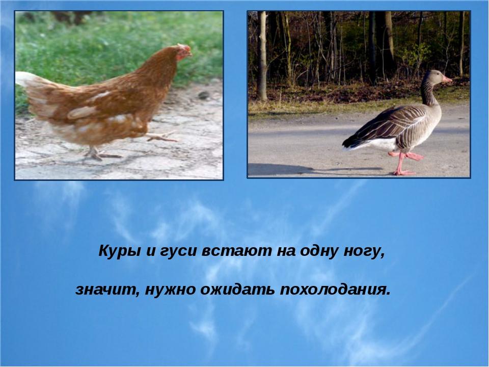Куры и гуси встают на одну ногу, значит, нужно ожидать похолодания.