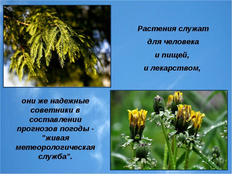 Растения служат для человека и пищей, и лекарством, они же надежные советники...