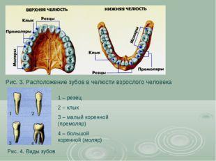 Рис. 3. Расположение зубов в челюсти взрослого человека Рис. 4. Виды зубов 1