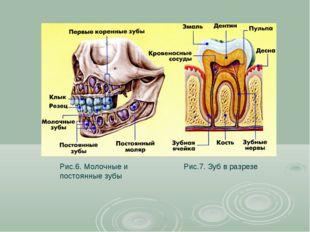 Рис.6. Молочные и постоянные зубы Рис.7. Зуб в разрезе