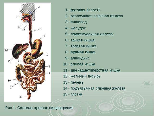 Рис.1. Система органов пищеварения 1− ротовая полость 2− околоушная слюнная ж...