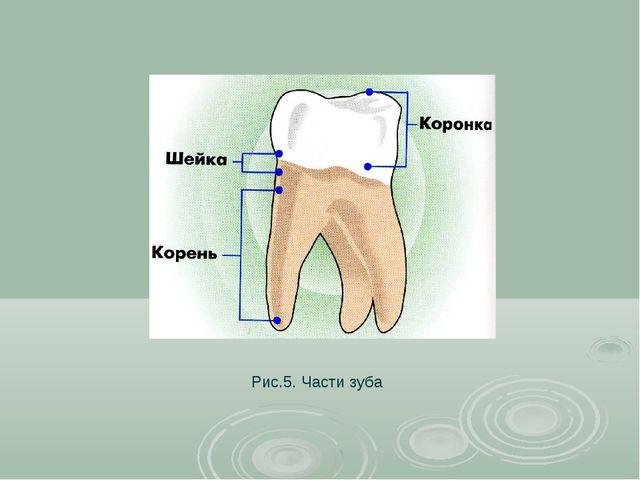 Рис.5. Части зуба