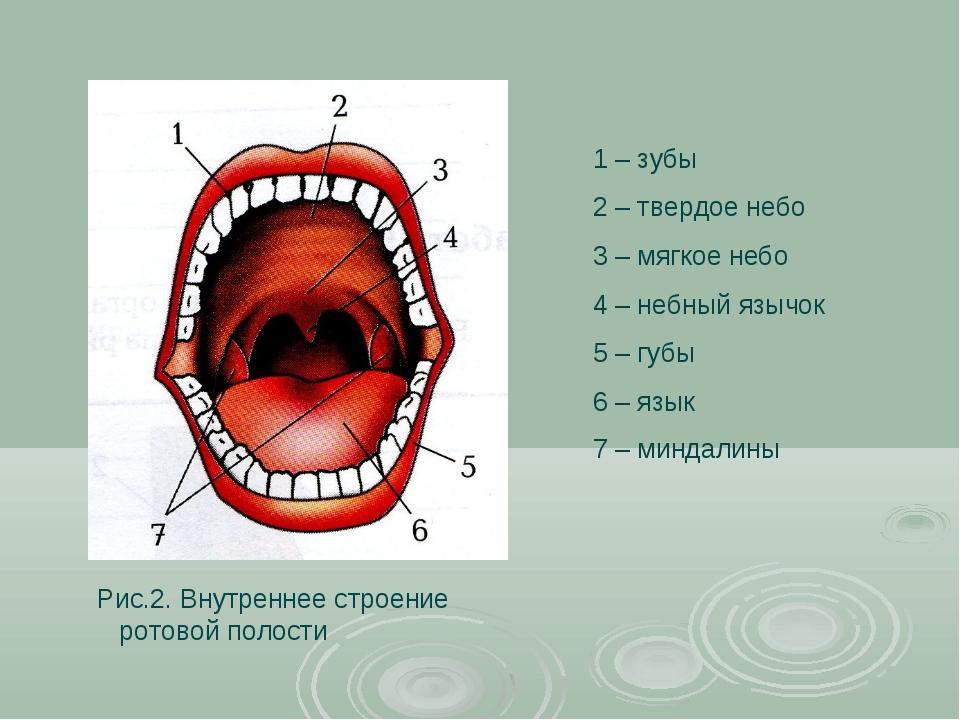 1 – зубы 2 – твердое небо 3 – мягкое небо 4 – небный язычок 5 – губы 6 – язык...