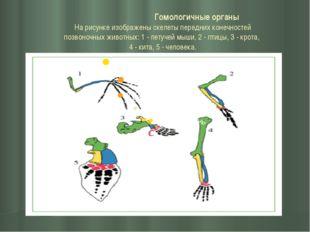 Гомологичные органы На рисунке изображены скелеты передних конечностей позво