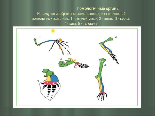 Гомологичные органы На рисунке изображены скелеты передних конечностей позво...